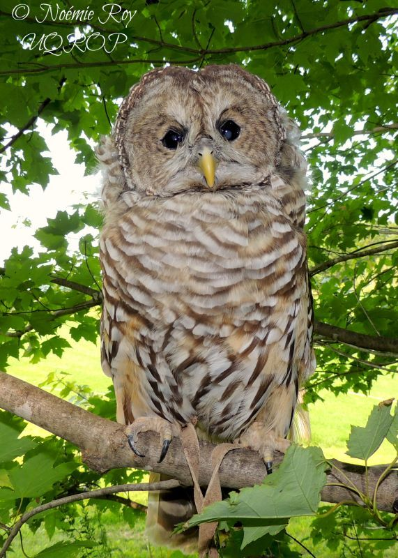 Barred owl │ UQROP: The Union Québécoise de Réhabilitation des Oiseaux de Proie is a non profit organisation created in 1987. Its mission is to provide help for the conservation of both birds of prey and their natural environment.