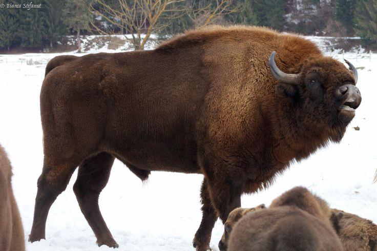 Alfa male bison