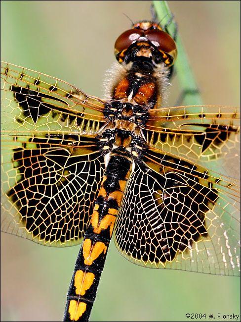 Fantastični insekti - Page 5 98c2005abb47e73975fee9f2c466a9a3