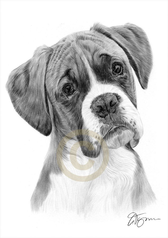 Boxer Pencil Drawing Print A4 A3 Signed By Uk Artist Pet Portrait Dog Ebay Animal Drawings Dog Drawing Dog Pencil Drawing