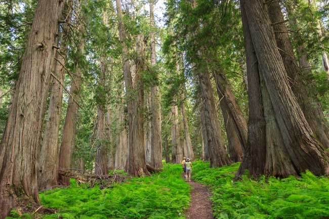 www.americanforests.org wp-content uploads 2012 07 Hobo-Cedar-Grove.jpg