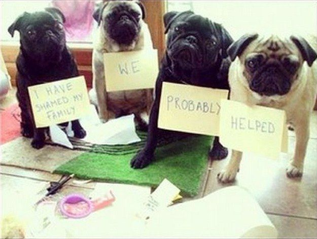 36 best pugs images on pinterest pug dogs pugs and baby pugs pug shaming the helped one looks just like peggy sue thecheapjerseys Gallery