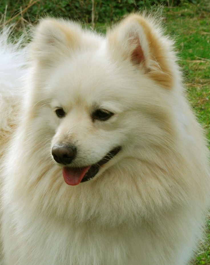 Wonderful German Spitz Canine Adorable Dog - 98c2c53363dd073bd8b9f5cd482f2077--pomeranian-breed-samoyed  Pictures_783916  .jpg