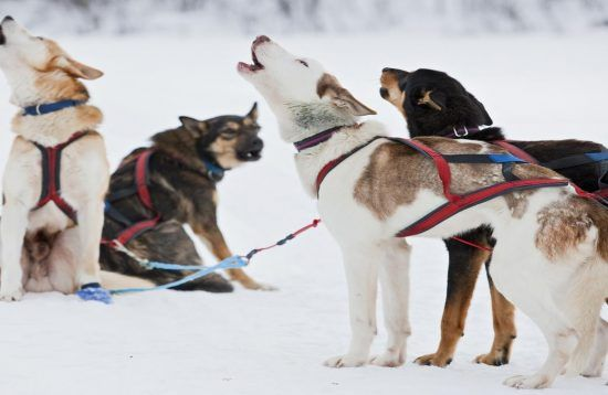 Dog Sledding Arctic Expedition, 8 Days, Polar, Sweden
