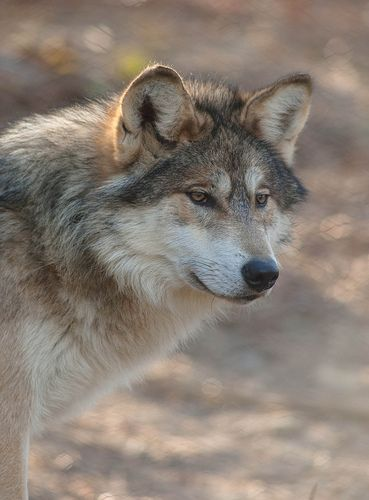 Mexican grey wolf - photo#26