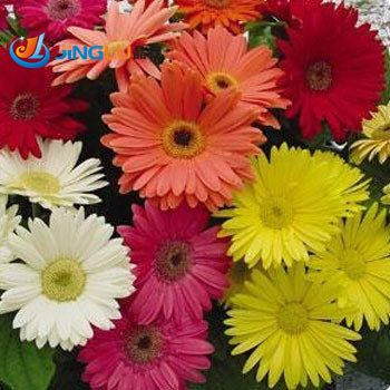 50 Seeds / Pack , Gerbera Daisy Seeds, Gerbera Jamesonii Mix, Tender Perennial, Show Stopper Color!