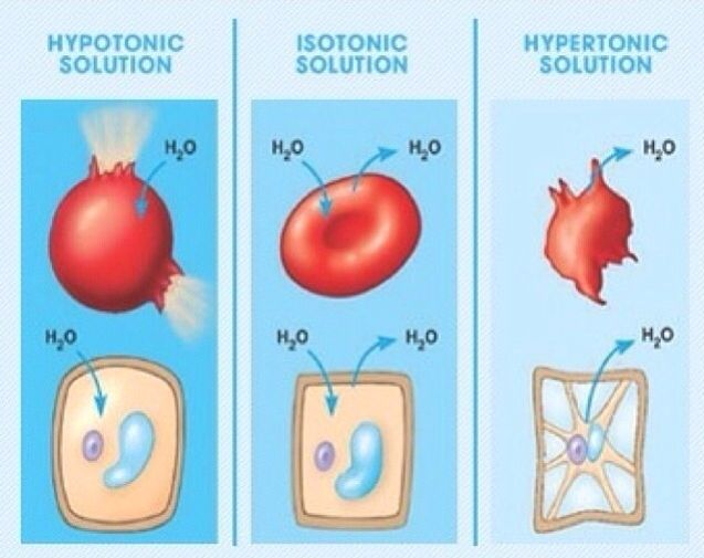 how do hypotonic hypertonic and isotonic 1hypotonic solutions have less solutes and more solvent while hypertonic solutions have more solutes and less solvent 2hypotonic solutions cause the cell to swell because it promotes shifting of water into it while hypertonic solutions cause the cell to shrink because it pulls the water out of .