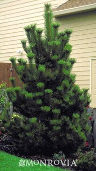 Living Christmas tree! Austrian Pine - A handsome evergreen tree with densely-branched conical form when young becoming umbrella shaped with age. Needles are long and dark green. Superb for windbreaks or specimen. Useful landscape tree.