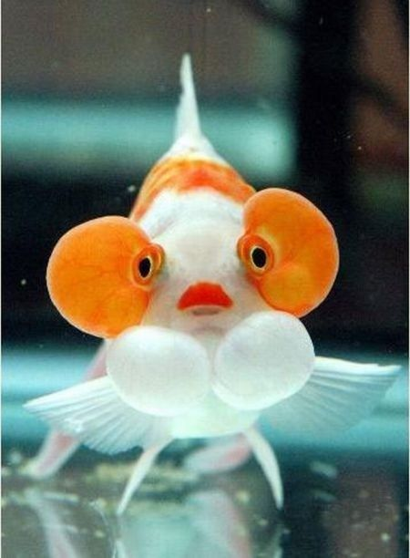 Breast implants, lipstick, and crazy fake eyelashes on an innocent fish. What is the world coming to? ~~~~~ bubble-eyed goldfish