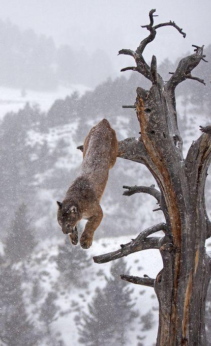 """Foto """"Cougarleapingofftree"""" von hibbz   – Animals"""