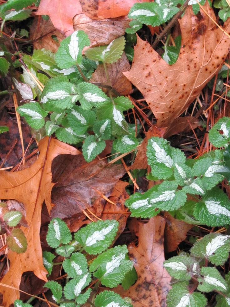 lamium (dead nettle) nestled among the oak leaves