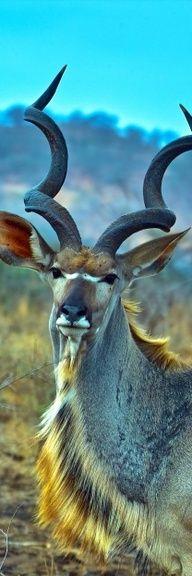 ♥ Grey Ghost of Africa - Kudu. BelAfrique - Your Personal Travel Planner - www.belafrique.com
