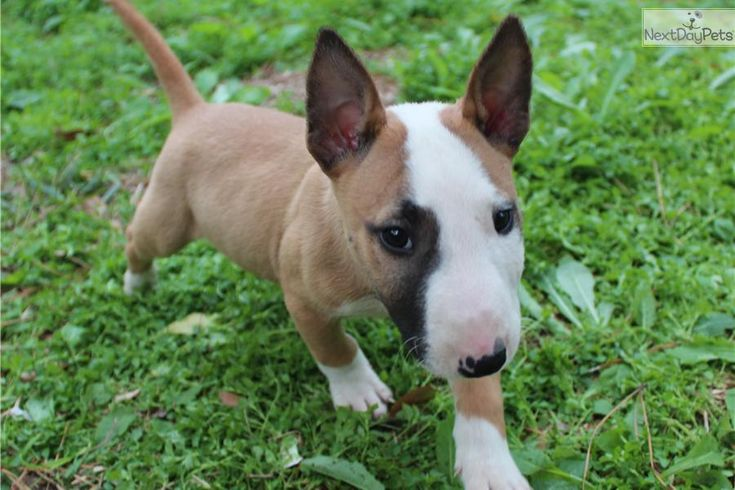 miniature bull terrier pups best 25 dogs for sale ideas on pinterest 5904