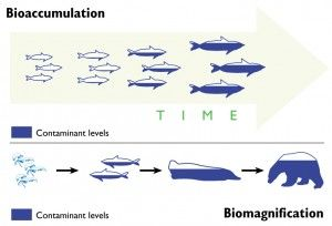 Bioaccumulation vs Biomagnification