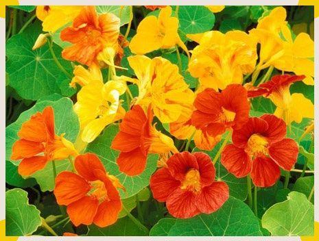 Полезные свойства цветка настурции