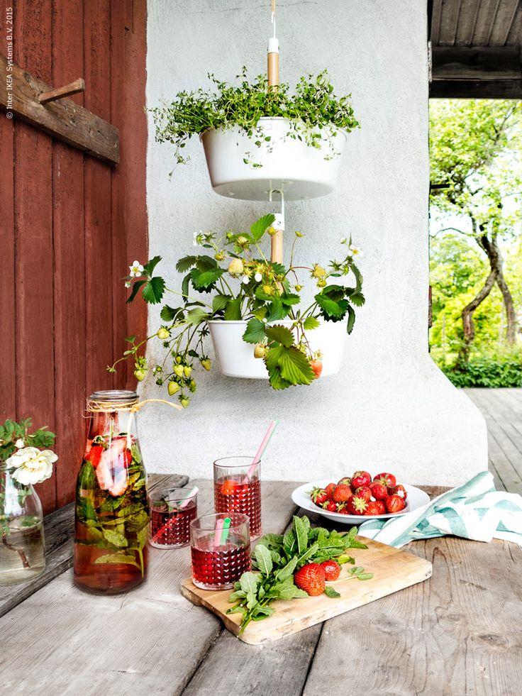 Ovanför arbetsbänken i uteköket hänger jordgubbar på tillväxt! Perfekt tillbehör till sommarens svalkande drycker. Dessutom sprider de en efterlängtad sommarkänsla vid matplatsen, även om regnet strilar ned utanför det skyddande taket.