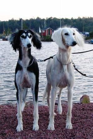 59 Best images about Saluki on Pinterest | Beautiful dogs, Dog show ... Saluki Tree Of Life