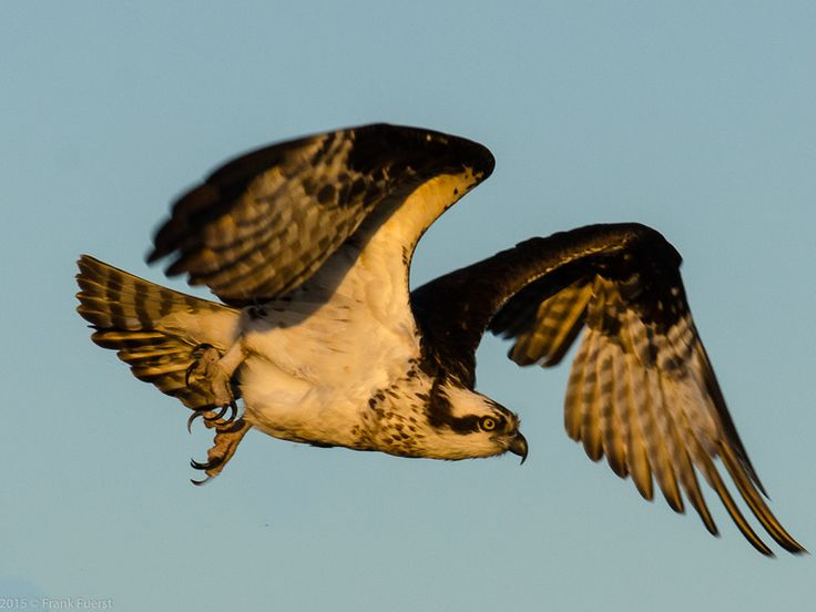 Osprey in flight at Hiwassee Wildlife Refuge in Tennessee.