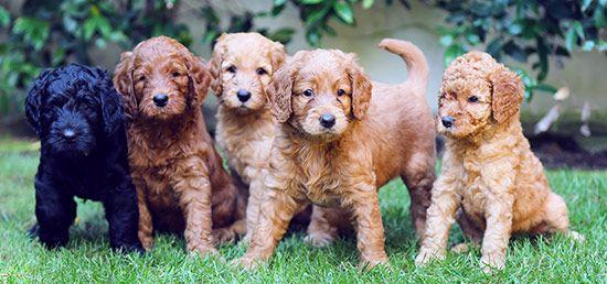 Os presentamos a nuestros #labradoodle  (Australian Cobberdog). Una raza depurada para conseguir un perro con las cualidades perfectas para realizar labores de asistencia y terapia además de ser perros hipoalergénicos perfectos para familias. #perros #cachorros #dogs #puppies #unomás #madewithlove #perrosdeterapia #perrosdeasistencia #perrosparafamilias
