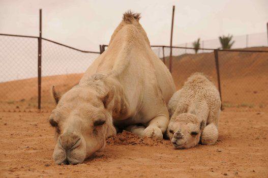"""アラブの砂漠で200匹の動物たちと暮らす""""はなもも""""さんに、その理由を聞いてみた(画像)"""