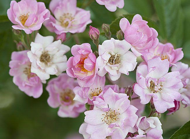 les 25 meilleures id es de la cat gorie rosier pleureur sur pinterest cerisier du japon rose. Black Bedroom Furniture Sets. Home Design Ideas