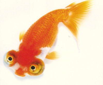 Goldfish show celestial fancy goldfish pinterest for Pet betta fish