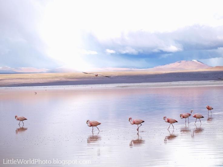 Walking flamingos. Laguna Colorada, Bolivia