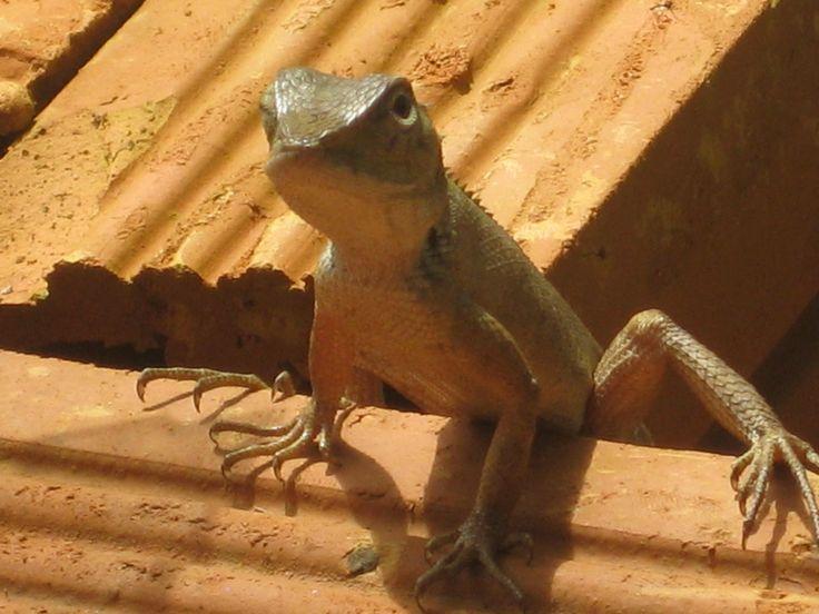 lizard, Nong Kiau