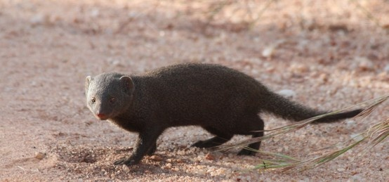 Dwarf Mongoose KNP