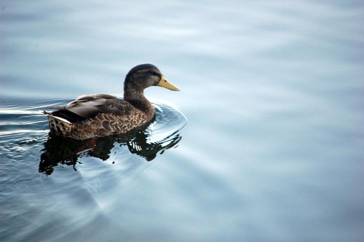 Ducky-Canada