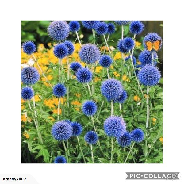 Echinops Blue Globe  Echinops ritro    An easily grown hardy perennial commonly called Blue Sea Holly that produce masses of steely Violet Blue globe-like heads...