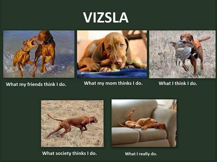 Vizsla so true! Ava sleeps more than our cats!