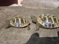 Hermanns tortoise care sheet