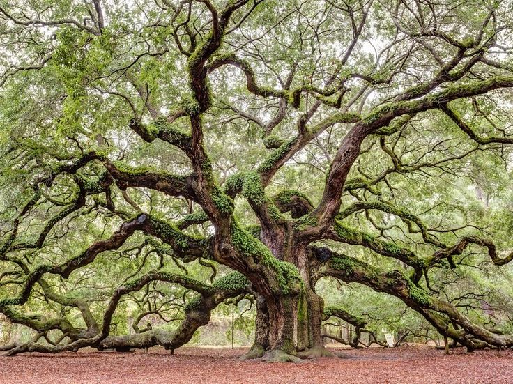 What looks like a set piece from Pan's Labyrinth is actually a massive and ancient oak tree—six stories tall and 300-400 years old.
