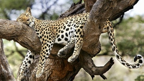 A Leopard relaxing on top of a tree