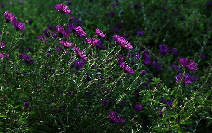 Новая англия астры в мокрота 10 шт. / новая англия астры Novae Angliae самые красивые харди дикие цветы