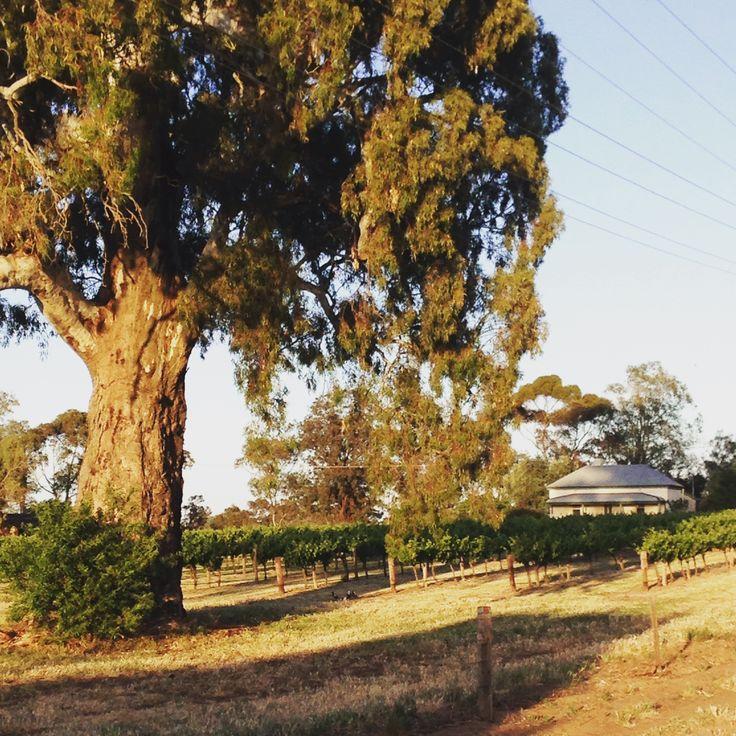 Willows Vineyard  http://www.barossa.com/wine/featured-wineries/the-willows-vineyard