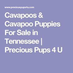 Cavapoos & Cavapoo Puppies For Sale in Tennessee | Precious Pups 4 U