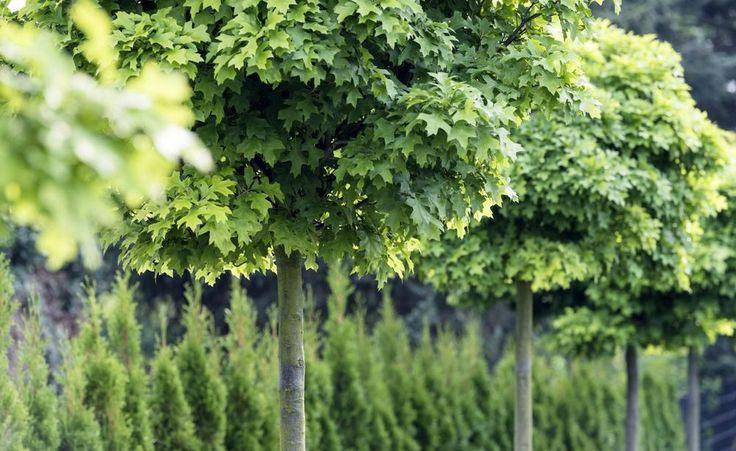 Kugelbäume: In jedem Garten ein Hingucker -  Kugelbäume sind markante Gestalten, die wenig Platz brauchen und dennoch alles bieten, was einen richtigen Baum ausmacht. Die Auswahl ist überraschend vielfältig.