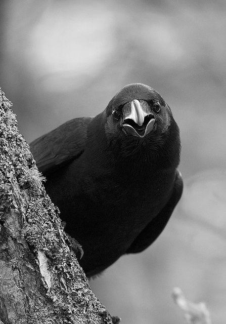 """Dann ist dieses Ebenholz Vogel betörenden meine traurige Lust zu lächeln, dem Grab und streng Anstand des Gesichts es trug, `Obwohl dein Kamm geschoren werden und rasiert, du"""", sagte ich, `so doch feige. Grauslich grimmer alter Rabe, Wanderer aus dem nächtlichen Ufer - Sag mir, was dein herrschaftlichen Name auf der Nachtplutonischen Küste '! Sprach der Rabe, `nie wieder."""" flickr von Callocephalon Photograp"""