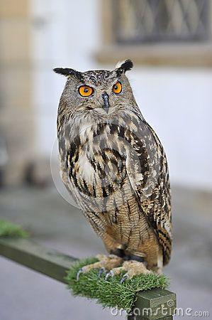 Portrait of Horned Owl with orange eyes