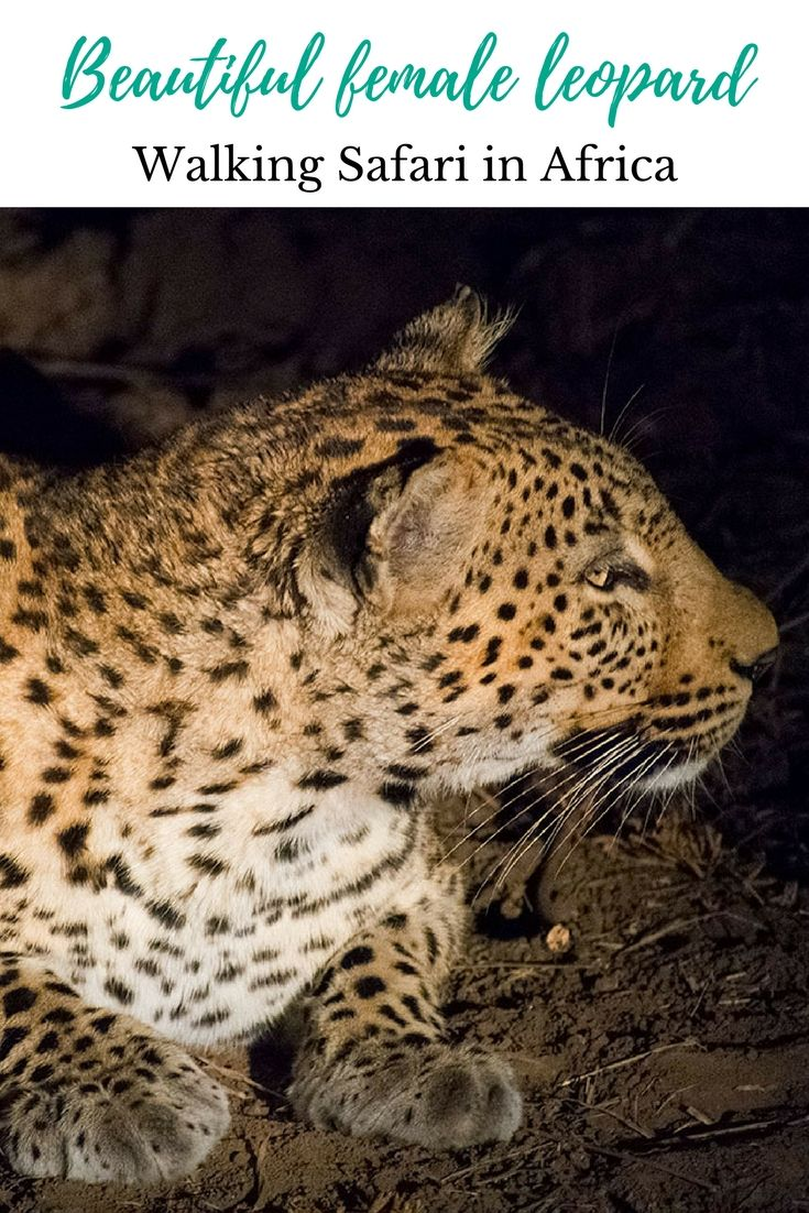 Beautiful female leopard on the hunt. Photograph, Cat Gassiot.  #anncavittfisher #travel #travelblogger #africa