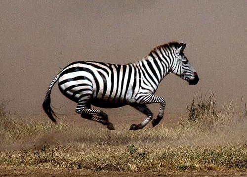 pin by kaysha morgan on striped hoofbeats