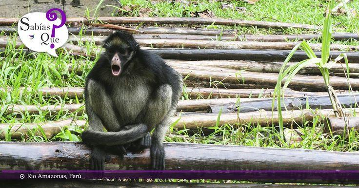¿#Sabíasque en el Amazonas viven un tercio de las especies terrestres del planeta?    #Amazonas #Peru #Americalatina #Planeta    Fotógrafo: Sophie De Sousa