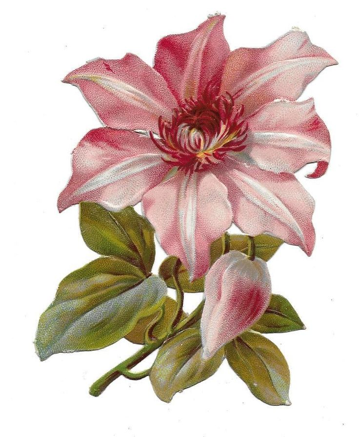 Victorian Die Cut Scrap Embossed Clematis Nelly Moser ca. 1880s: