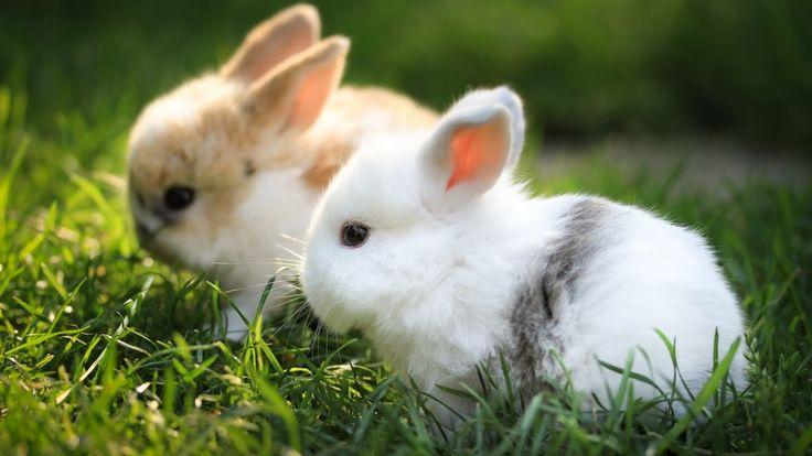 Rabbits-HD-Wallpaper