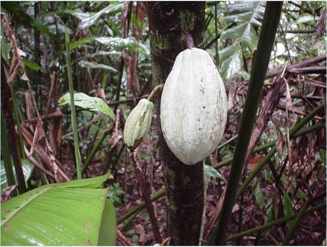 Coca tree with pods in Costa Rica, photo by Melissa Stewart
