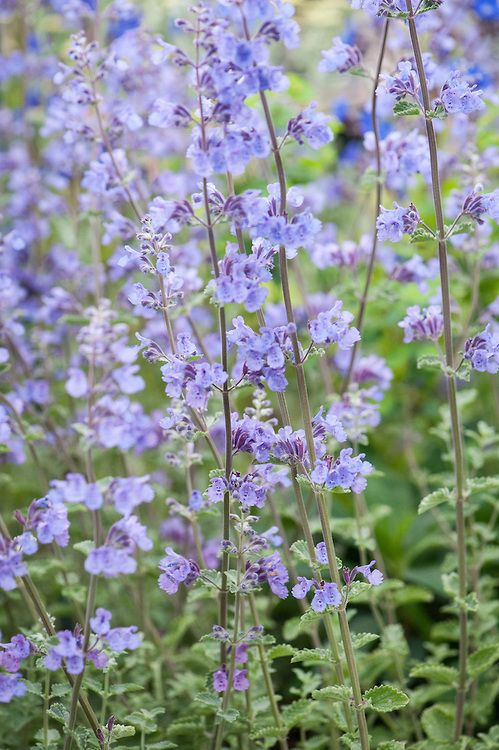 Nepeta. Shear off half way during November, then cut back to new shoots near the base in March.