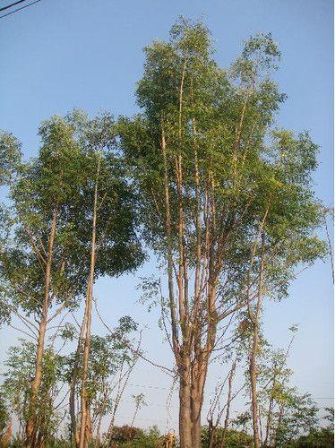 Moringa oleifera miracle tree