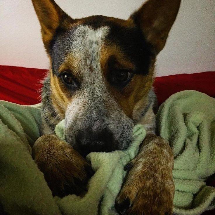 Australian Cattle Dog Cutie! More